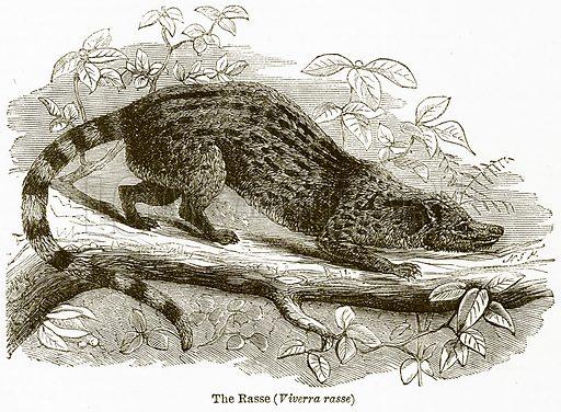 The Rasse (Viverra Rasse). Illustration from The National Encyclopaedia (William Mackenzie, c 1900).