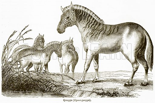 Quagga (Equus Quagga). Illustration from The National Encyclopaedia (William Mackenzie, c 1900).