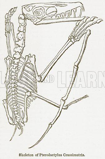 Skeleton of Pterodactylus Crassirostris. Illustration from The National Encyclopaedia (William Mackenzie, c 1900).