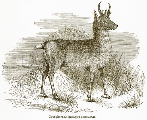 Pronghorn (Antilocapra Americana). Illustration from The National Encyclopaedia (William Mackenzie, c 1900).