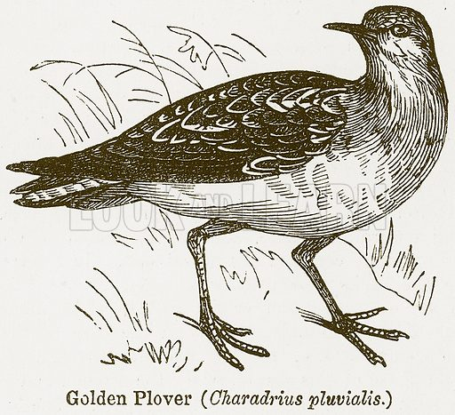 Golden Plover (Charadrius Pluvialis.) Illustration from The National Encyclopaedia (William Mackenzie, c 1900).