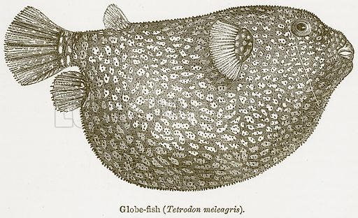Globe-Fish (Tetrodon Meleagris). Illustration from The National Encyclopaedia (William Mackenzie, c 1900).