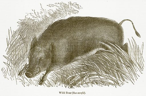 Wild Boar (Sus Scrofa). Illustration from The National Encyclopaedia (William Mackenzie, c 1900).