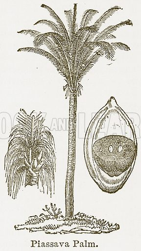 Piassava Palm. Illustration from The National Encyclopaedia (William Mackenzie, c 1900).