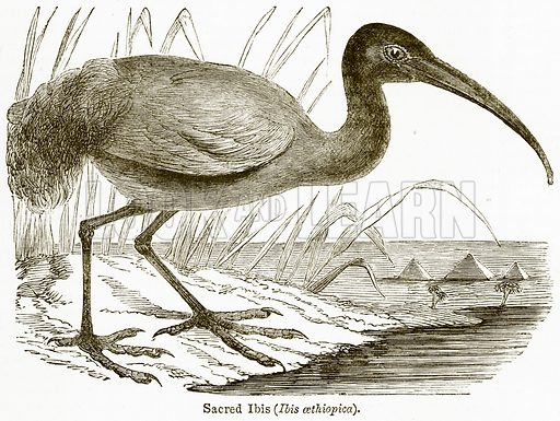 Sacred Ibis (Ibis Aethiopica). Illustration from The National Encyclopaedia (William Mackenzie, c 1900).