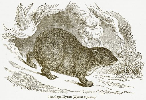 The Cape Hyrax (Hyrax Capensis). Illustration from The National Encyclopaedia (William Mackenzie, c 1900).