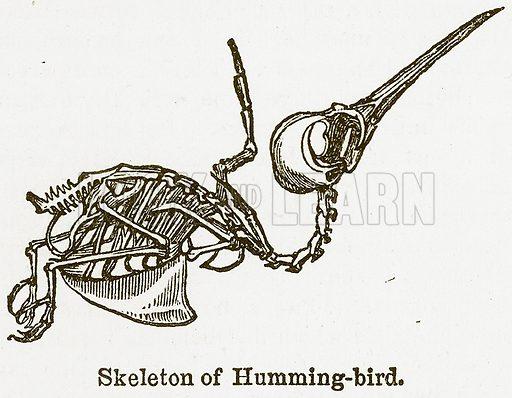 Skeleton of Humming-Bird. Illustration from The National Encyclopaedia (William Mackenzie, c 1900).