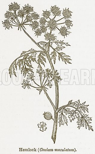 Hemlock (Conium Maculatum). Illustration from The National Encyclopaedia (William Mackenzie, c 1900).