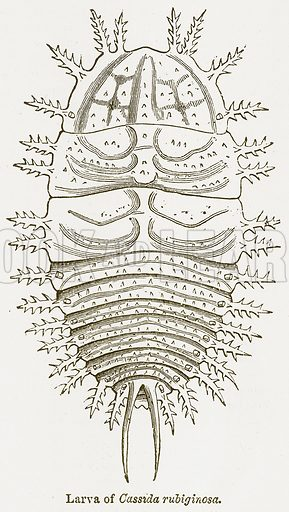 Larva of Cassida Rubiginosa. Illustration from The National Encyclopaedia (William Mackenzie, c 1900).