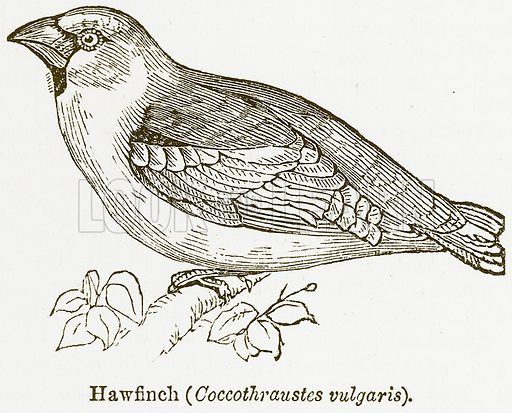 Hawfinch (Coccothraustes Vulgaris). Illustration from The National Encyclopaedia (William Mackenzie, c 1900).