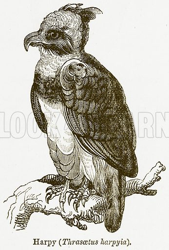 Harpy (Thrasaetus Harpyia). Illustration from The National Encyclopaedia (William Mackenzie, c 1900).