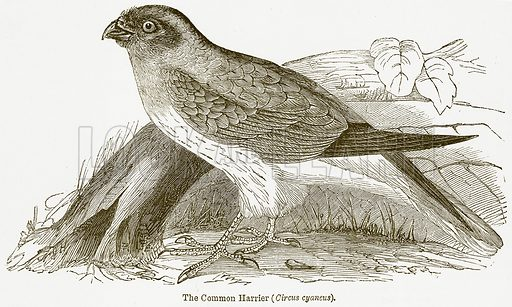 The Common Harrier (Circus Cyaneus). Illustration from The National Encyclopaedia (William Mackenzie, c 1900).