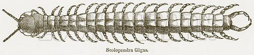 Scolopendra Gigas. Illustration from The National Encyclopaedia (William Mackenzie, c 1900).
