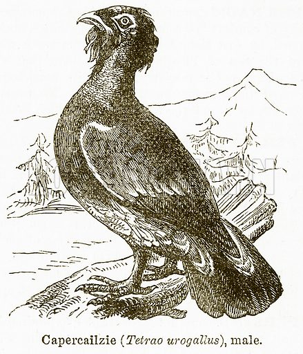 Capercailzie (Tetrao Urogallus), Male. Illustration from The National Encyclopaedia (William Mackenzie, c 1900).