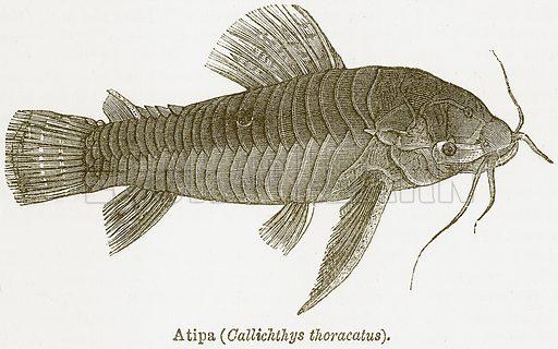 Atipa (Callichthys Thoracatus). Illustration from The National Encyclopaedia (William Mackenzie, c 1900).