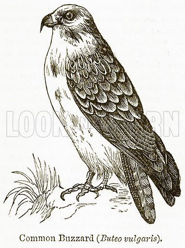 Common Buzzard (Buteo Vulgaris). Illustration from The National Encyclopaedia (William Mackenzie, c 1900).