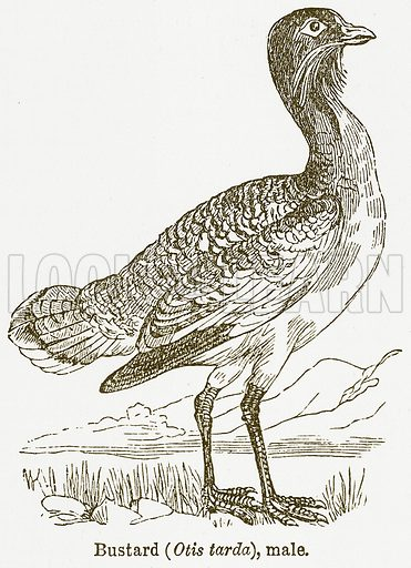Bustard (Otis Tarda), Male. Illustration from The National Encyclopaedia (William Mackenzie, c 1900).
