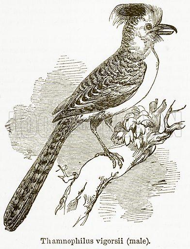 Thamnophilus Vigorsii (Male). Illustration from The National Encyclopaedia (William Mackenzie, c 1900).