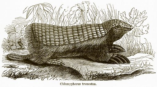 Chlamyphorus Truncatus. Illustration from The National Encyclopaedia (William Mackenzie, c 1900).