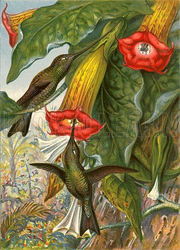 Humming birds.  Illustration fom The New Popular Educator (Cassell, c 1890).