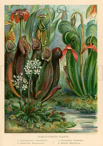 Insectivorous plants. Illustration fom The New Popular Educator (Cassell, c 1890).