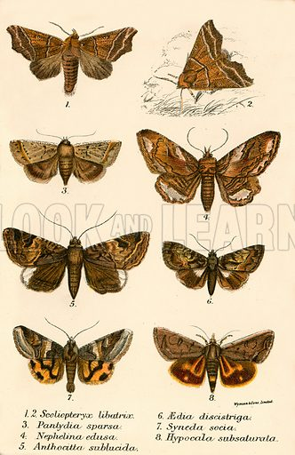 Butterflies. Illustration for A Handbook to the Order Lepidoptera by W F Kirby (Edward Lloyd, 1896).