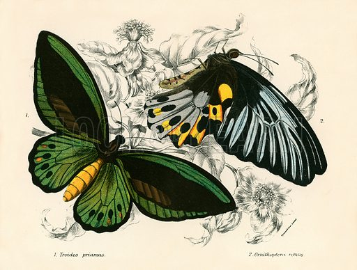 Butterflies. Illustration for A Handbook to the Order Lepidoptera by WF Kirby (Edward Lloyd, 1896).