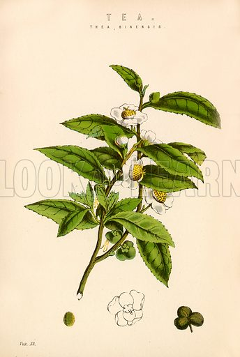 Tea. Illustration from The National Encyclopaedia (William Mackenzie, c 1870).
