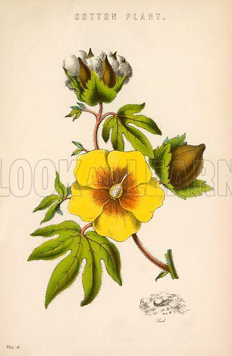Cotton plant. Illustration from The National Encyclopaedia (William Mackenzie, c 1870).