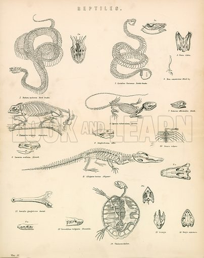 Reptiles. Illustration from The National Encyclopaedia (William Mackenzie, c 1870).