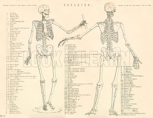 Skeleton. Illustration from The National Encyclopaedia (William Mackenzie, c 1870).