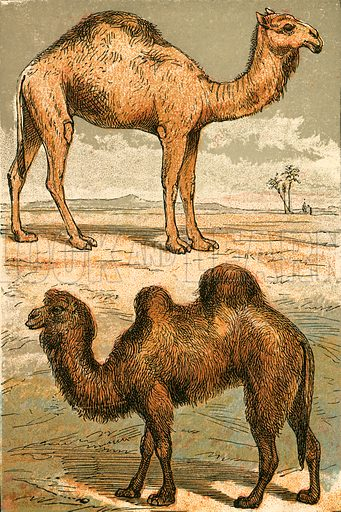 Arabian Camel and Bactrian Camel. Illustration for Warne's Picture Natural History Animals (Frederick Warne, c 1870).