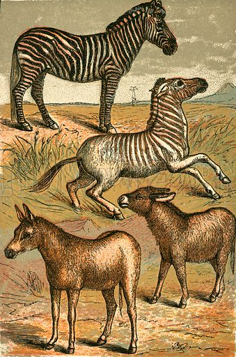 Zebra, Wild Ass, Quagga and Common Ass. Illustration for Warne's Picture Natural History Animals (Frederick Warne, c 1870).