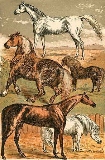 Arab Horse, Cart Horse, Race Horse, Shetland Pony and Pony. Illustration for Warne's Picture Natural History Animals (Frederick Warne, c 1870).