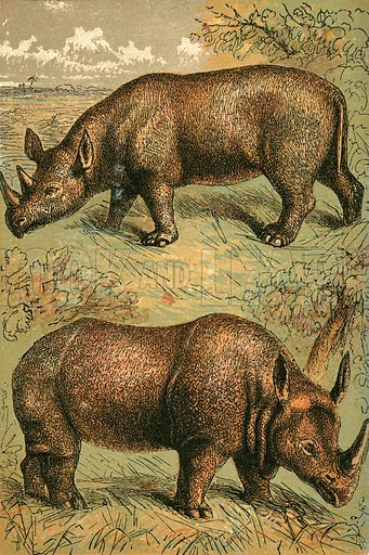 Two Horned Rhinoceros and Single Horned Rhinoceros. Illustration for Warne's Picture Natural History Animals (Frederick Warne, c 1870).