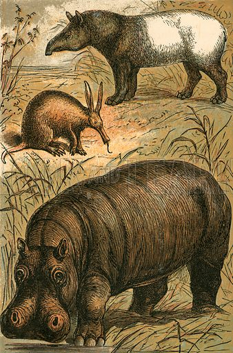 Cape Anteater, Malay Tapir and Hippopotamus. Illustration for Warne's Picture Natural History Animals (Frederick Warne, c 1870).