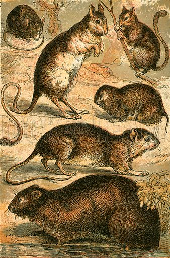 Mouse, Jerboa, Rat, Musk Rat, Dormouse and Field Mouse. Illustration for Warne's Picture Natural History Animals (Frederick Warne, c 1870).