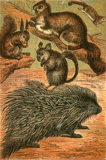 Flying Squirrels, Common Squirrel, Chinchilla and Porcupine. Illustration for Warne's Picture Natural History Animals (Frederick Warne, c 1870).