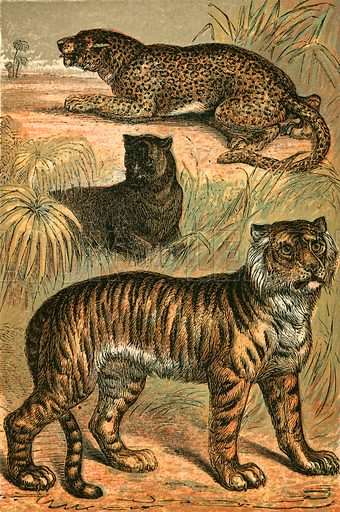 Leopard, Black Panther and Tiger. Illustration for Warne's Picture Natural History Animals (Frederick Warne, c 1870).