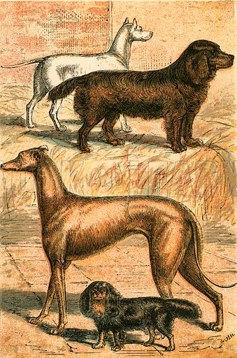 Terrier, Spaniel, Greyhound and King Charle's Spaniel. Illustration for Warne's Picture Natural History Animals (Frederick Warne, c 1870).