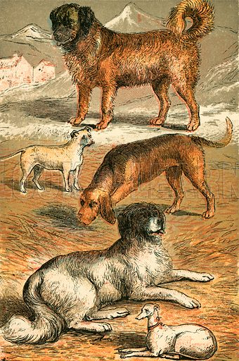 St Bernard, Bulldog, Bloodhound, Newfoundland and Italian Greyhound. Illustration for Warne's Picture Natural History Animals (Frederick Warne, c 1870).