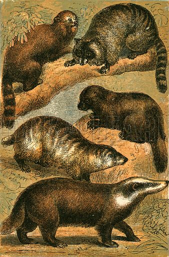Panda, Racoon, American Racoon, Glutton and Common Badger. Illustration for Warne's Picture Natural History Animals (Frederick Warne, c 1870).