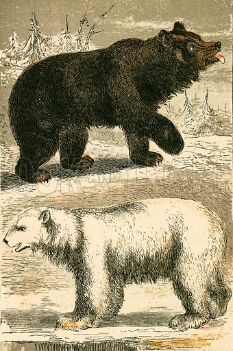 Brown Bear and Polar Bear. Illustration for Warne's Picture Natural History Animals (Frederick Warne, c 1870).