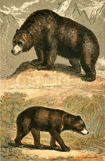 Grizzly Bear and Malay Bear. Illustration for Warne's Picture Natural History Animals (Frederick Warne, c 1870).