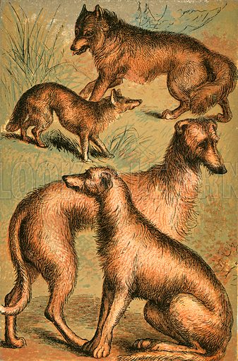 Jackal, Wolf, Irish Wolfhound and Deerhound. Illustration for Warne's Picture Natural History Animals (Frederick Warne, c 1870).