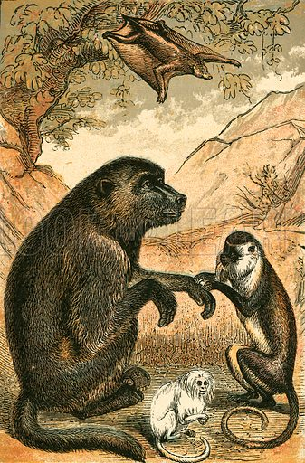 Flying Lemur, Baboon, Diana Monkey and Marmoset. Illustration for Warne's Picture Natural History Animals (Frederick Warne, c 1870).