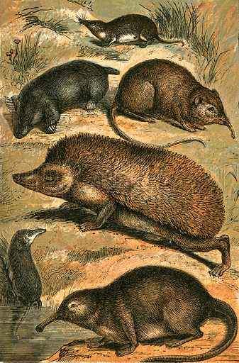 Mole, Shrew, Elephant Shrew, Hedgehog, Water Shrew and Pyrenean Desman. Illustration for Warne's Picture Natural History Animals (Frederick Warne, c 1870).