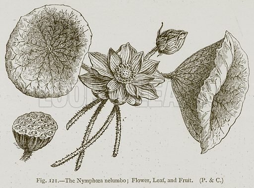 The Nymphoea Nelumbo; Flower, Leaf, and Fruit. Illustration for Historic Ornament by James Ward (Chapman and Hall, 1897).