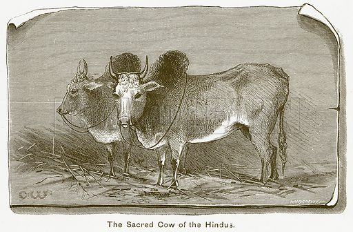 The Sacred Cow of the Hindus. Illustration for The Children of India (Religious Tract Society, c 1875).