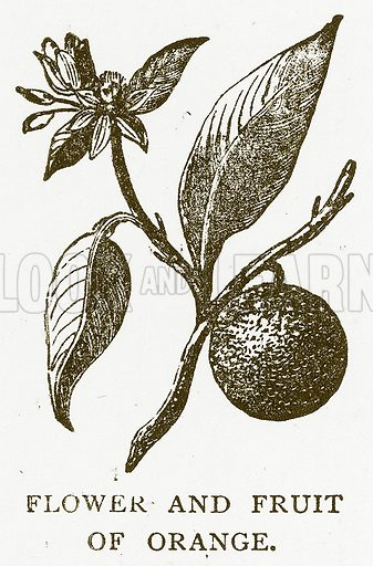 Flower and Fruit of Orange. Illustration for Aunt Louisa's Book of Common Things by L Valentine (Frederick Warne, c 1880).
